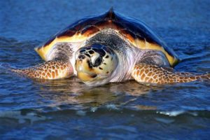 how to protect sea turtles in jupiter